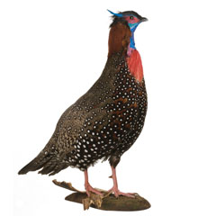 Western tragopan, female bird, India.